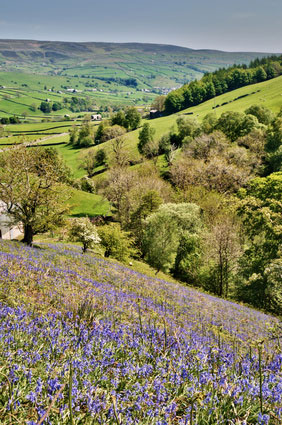 A carpet of Bluebells in Swaledale