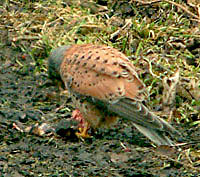 sparrowhawk eating its kill in the Yorkshire Dales